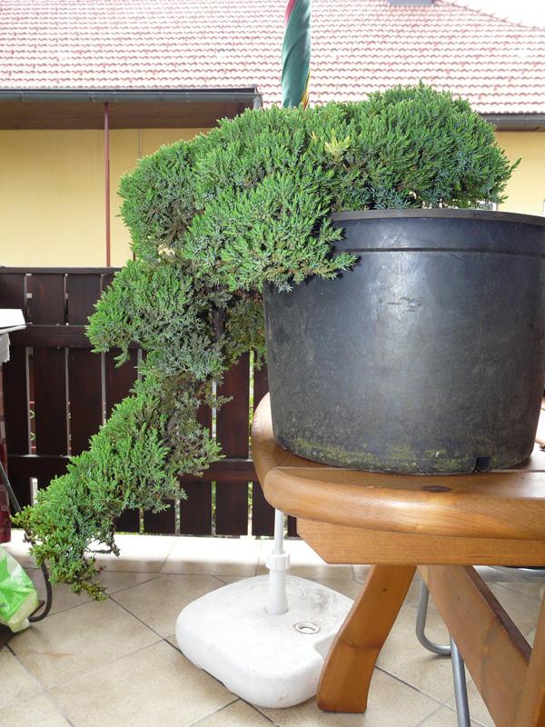 Juniperus Prokumbens Nana  - Cascade - Update 2009-06-08brin002