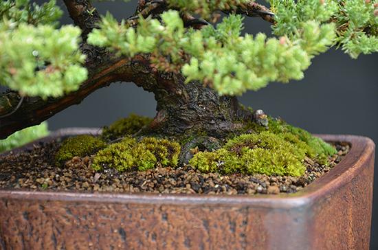 Juniperus Prokumbens Nana  - Cascade - Update Dsc4859s