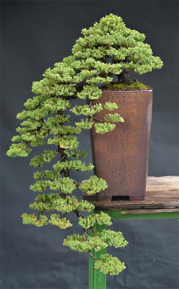 Juniperus Prokumbens Nana  - Cascade - Update 2011-10-10brin012s