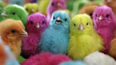 Adorable chicks! Chicks
