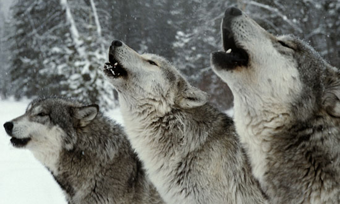 Pack of Never Ending Winter Guide Wolf-Pack-Howling