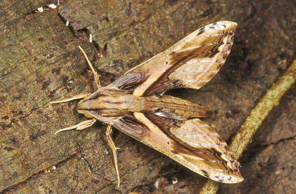 Sưu tập Bộ cánh vẩy 2 XylophanesCeratomioides