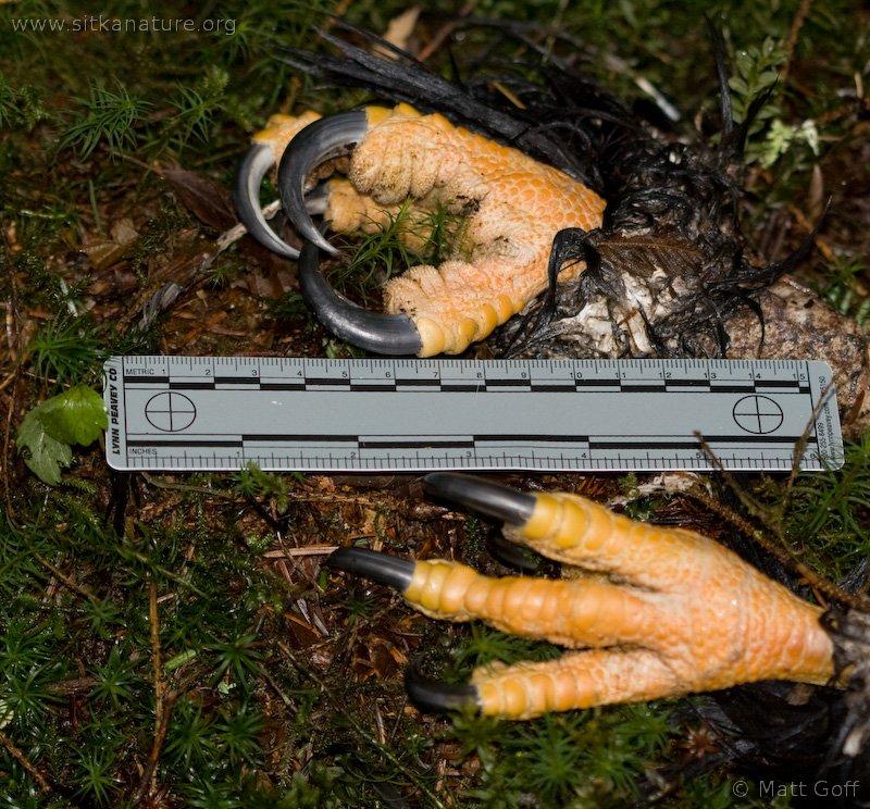 Comparação do tamanho de águias  com relação ao homem. 20080310-bald_eagle_talons-1