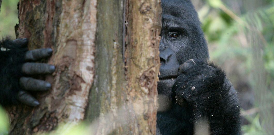 Images et smileys...en joutes - Page 3 Gorille-ouganda-reuters