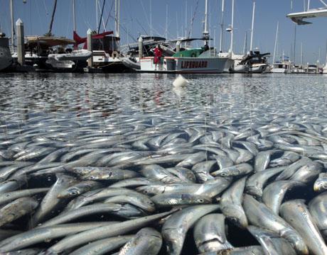 Des millions de poissons morts flottent en Californie Poissonsmortsdedans