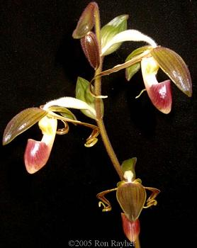 Hoa gieo tứ tuyệt 3 - Page 18 Paphgigantifolium