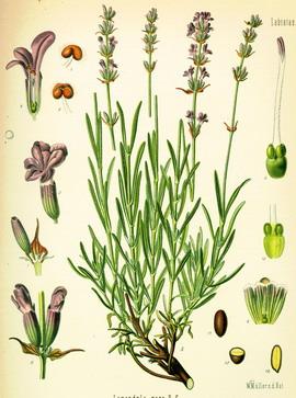 Lekovito Bilje - Page 2 Lavendel-r