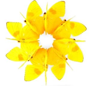 Magija žute Yellow_ring_of_butterflies