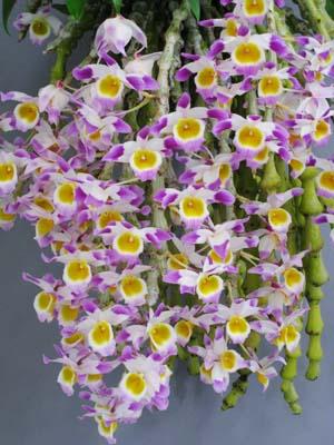 Dendobium crassinodes Dendrobium%20crassinode