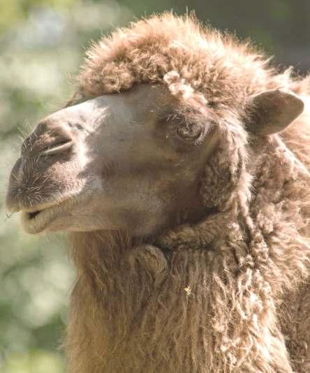 Deve Camel_wool_portrait