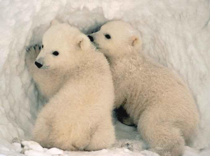 Medvjedi Polar_bear_cubs_ursus_maritimus