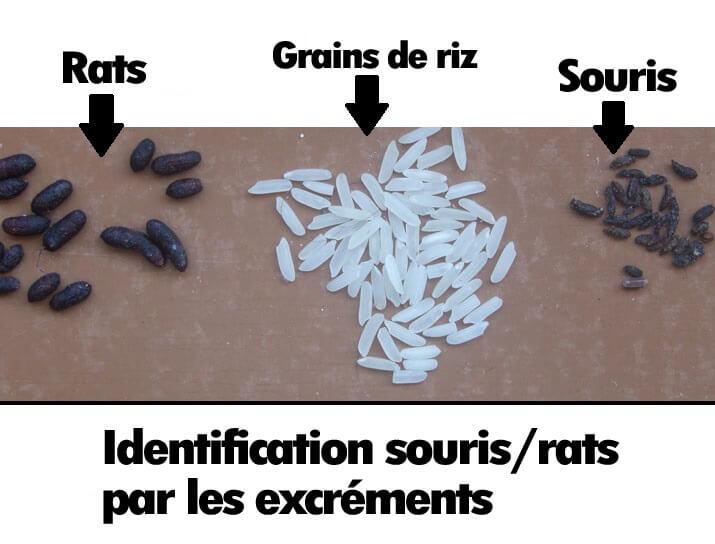 [Jeu] Suite d'images !  - Page 5 3-comparaison-excrements-souris-rats