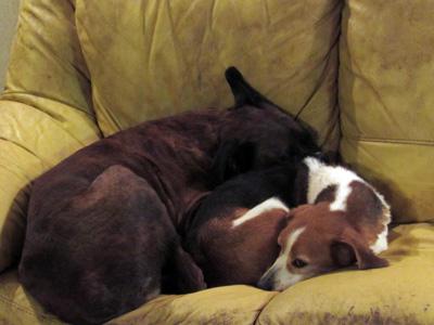 MOUSS -  beagle 10 ans - Sos Vieux Chiens à Crucey (28) Mouss2
