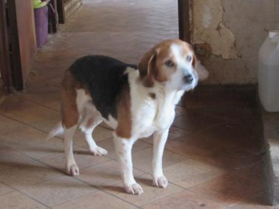 MOUSS -  beagle 10 ans - Sos Vieux Chiens à Crucey (28) Mouss3