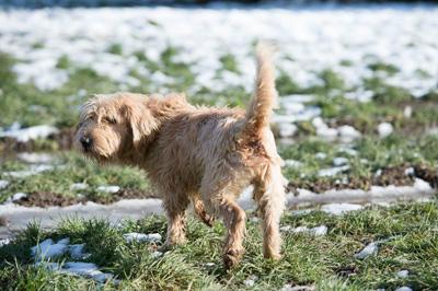 MICKY - x fauve de bretagne/fox terrier 13 ans -  Sos Vieux Chiens à Crucey Villages (28) Micky-1