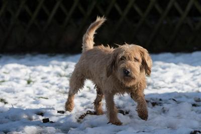 MICKY - x fauve de bretagne/fox terrier 13 ans -  Sos Vieux Chiens à Crucey Villages (28) Micky-2