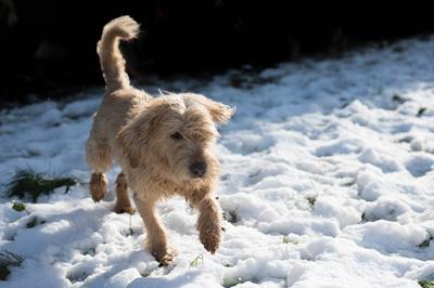 MICKY - x fauve de bretagne/fox terrier 13 ans -  Sos Vieux Chiens à Crucey Villages (28) Micky-3
