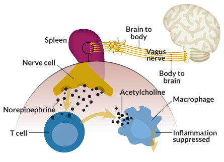 Waking the Vagus: Wandering nerve could lead to range of therapies 112815_vagus_illo