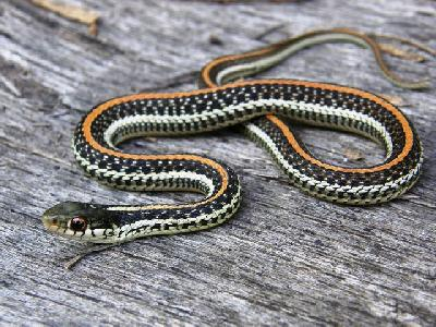 Thamnophis sirtalis Annectens-TravisCo