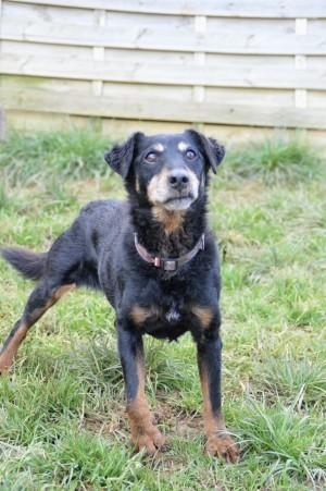 CLELIA - x jagd terrier 12 ans  (6 ans de refuge) -  Spa de Vesoul  (70) 4546514