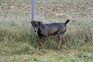 MODJO - x jack (Jagdterrier ?) 6 ans  (4 ans de refuge)  - Spa de Vesoul (70) 470559