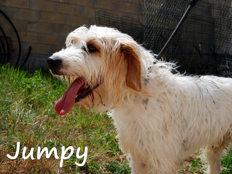 JUMPY - griffon vendéen ? ... ans - Refuge de Dijon les Cailloux (21) JUMPY