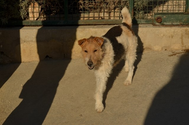 KIWI - fox terrier 11 ans - Spa des Cailloux à Dijon (21) Kiwi-1