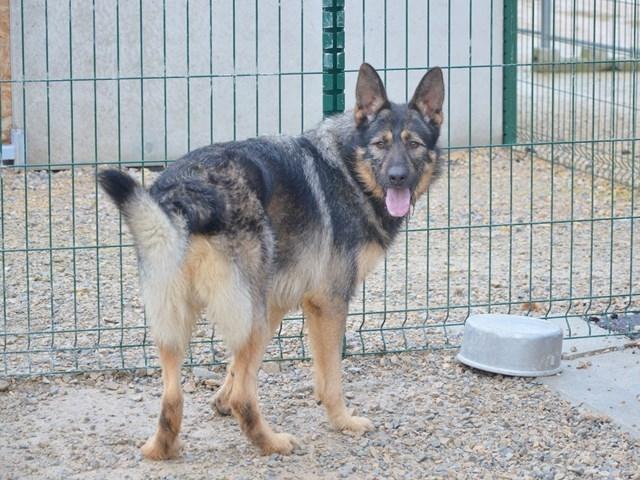 ROSCO - x berger allemand 8 ans   (5 ans de refuge)- Spa des Cailloux à Dijon (21) Rosco-2