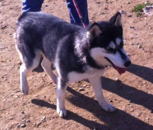 Bella, Husky 1 an et 7 mois REFU13 ADOPTEE AS156851
