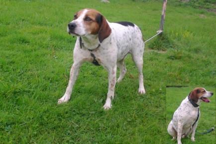 ATHOS - beagle harrier   14 ans   (14 ans de refuge) - Spa de la Mayenne à Laval (53) Athoss-434x289