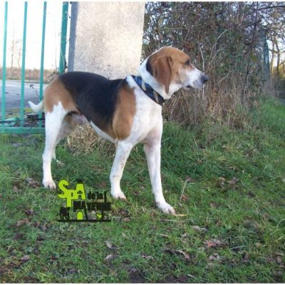 HERCULE - courant fox hound anglais 12 ans  (7  ans de refuge)- Spa de la Mayenne à Laval (53) HERCULEEEEEE-400x400