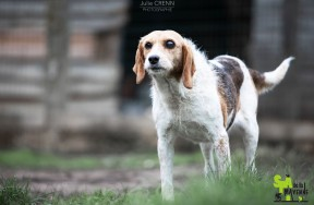 PITA - x beagle/griffon 12 ans (8 ans de refuge)  Spa de la Mayenne à Laval (53)  Pita-288x188