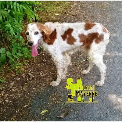 DUCHESSE - epagneul breton 12 ans - Spa de la Mayenne à Laval (53) Duchesse..-400x400