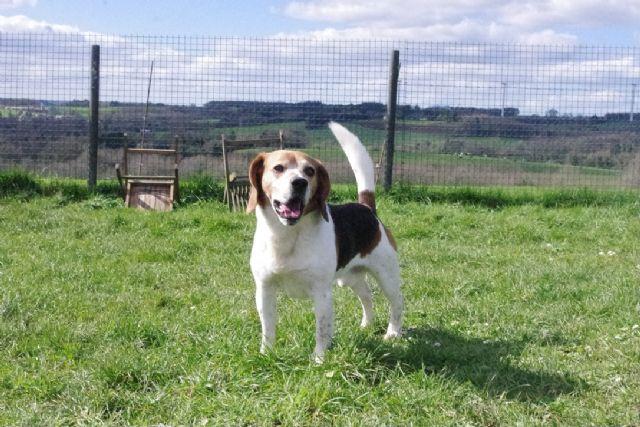 JACK - beagle 6 ans - Refuge de Malguenac près de Pontivy (56) 2020316-qnfunhqxllc4m2ak8j0c