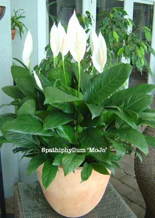 Piante Spathiphyllum-mojo