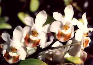 LAN VÀ THƠ ĐVTC - Page 6 PhalaenopsisLobbii