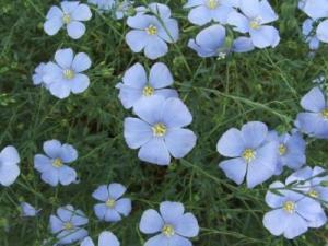 Liste de plantes pour les soins Linum-usitatissimum