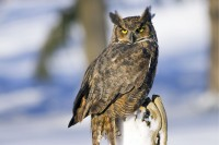 If the Owl has silently glided into your life... Owl-Great-Horned-200x133