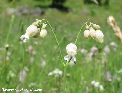 Silene à feuilles larges (=Lychnis à grosses graines) / Silene latifolia Silene-enfle
