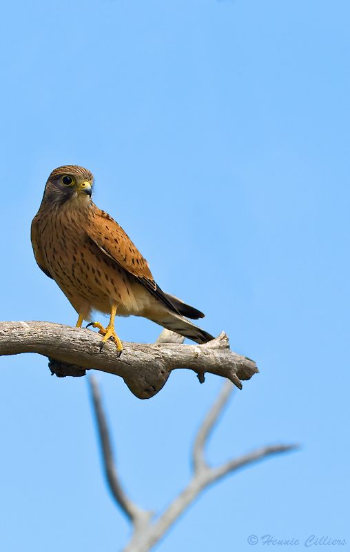 Falconiformes. sub Falconidae - sub fam Falconinae - gênero Falco - Página 2 19