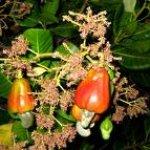 Homeopatija - put ka izlečenju Anacardium