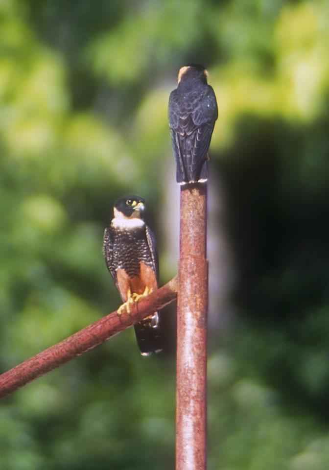 Falconiformes. sub Falconidae - sub fam Falconinae - gênero Falco - Página 2 Bat_falcon_0001