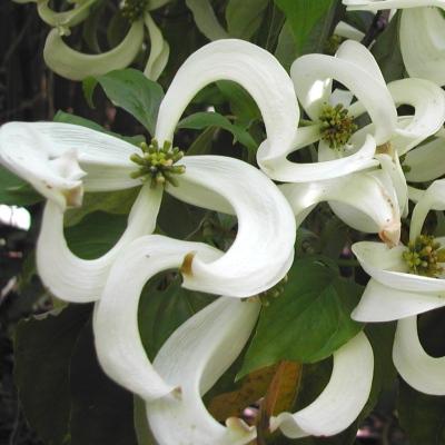 Otra pasada de árbol por su rara floración ♥♥♥ Cornus_florida_urbiniana_400x400_4920