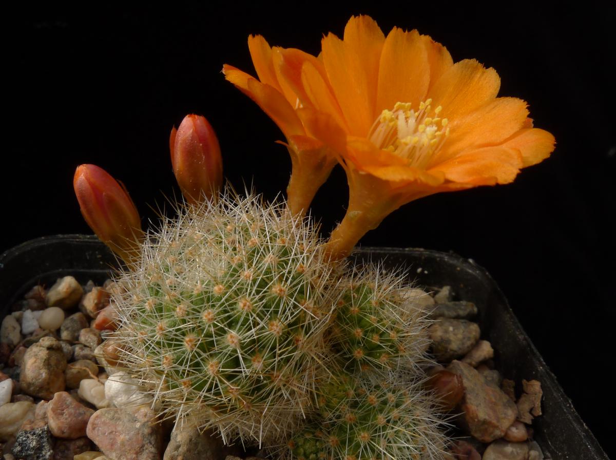 Semis de Rebutia (cactus) - Page 2 14269779-origpic-60b613