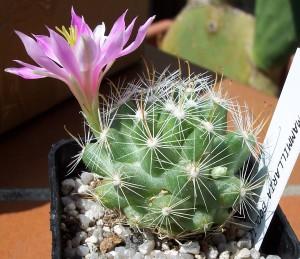 2 nouveaux à identifier SVP - Merci[Mammillaria boolii...] Mammill21