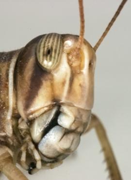 أحداث جارية  Locust-f7281