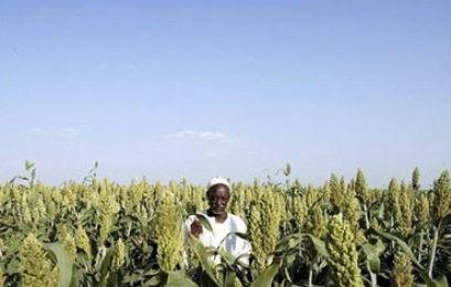 أحداث جارية  A_sudanese_farmer_stands_in_a_field_of_sorghum_in_gezira_scheme_sudan-e8c9a
