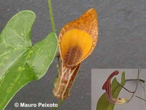 Tình yêu cây cỏ ĐV2 - Page 9 Aristolochia_melastoma