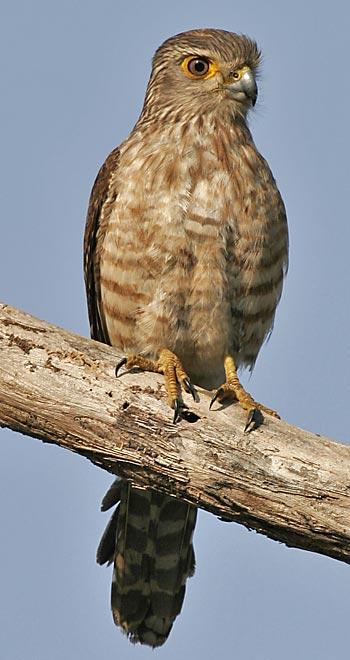 Falconiformes. sub Falconidae - sub fam Falconinae - gênero Falco - Página 3 20051118031912