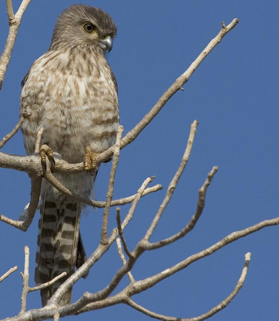 Falconiformes. sub Falconidae - sub fam Falconinae - gênero Falco - Página 3 20070926011210